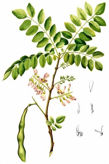 Gliricidia sepium – Cacao de nance
