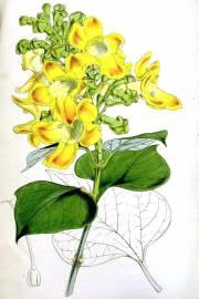 Gmelina arborea – Beechwood, White Teak