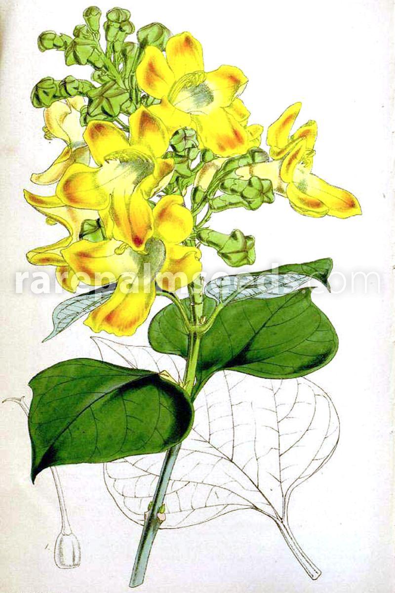 Gmelina arborea �C Beechwood, White Teak �C Buy seeds at rarepalmseeds.com800 x 1200 jpeg 146kB