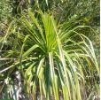 Greigia sphacelata – Hardy Pineapple