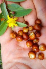 Grewia flava – Brandybush, Velvet Raisin