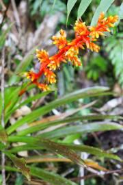Guzmania multiflora