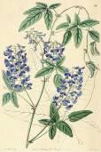 Hardenbergia comptoniana – Australischer Blauregen