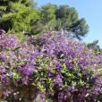 Hardenbergia violacea 'Climbing Form'