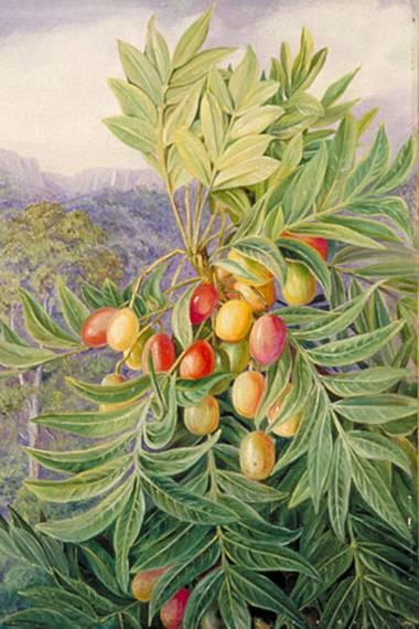 Harpephyllum caffrum – Afrikanische Wildpflaume