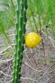 Harrisia eriophora – Fragrant Prickly Apple