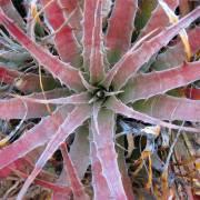 Hechtia - Dyckia - Deuterocohnia ssp. Mix – Dwarf Bromeliad Mix