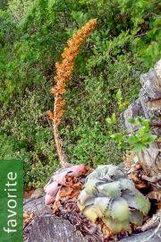Hechtia lanata