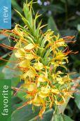 Hedychium gardnerianum – Kahili Ginger