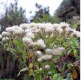 Helichrysum formosissimum