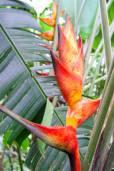 Heliconia champneiana 'Splash'