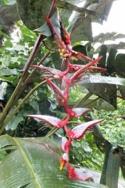 Heliconia griggsiana