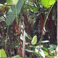 Heliconia harlingii – Lipstick Heliconia