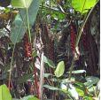 Heliconia harlingii