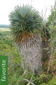 Hemithrinax ekmaniana – Jumagua Palm, Lollipop Palm