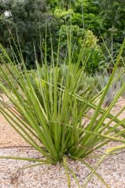 Hesperaloe funifera – Samandoque