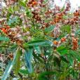 Hibbertia lucens