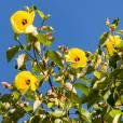 Hibiscus tiliaceus – Beach Hibiscus, Sea Rosemallow