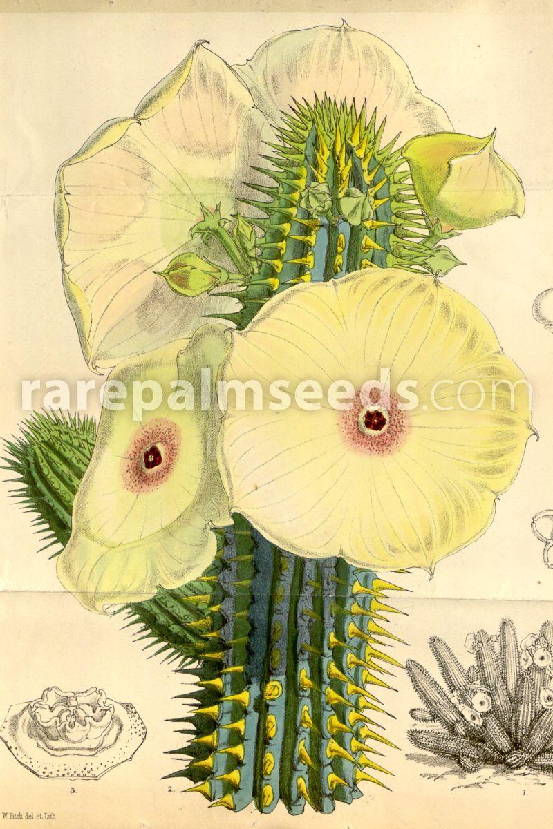 Hoodia Gordonii Buy Seeds At Rarepalmseeds Com