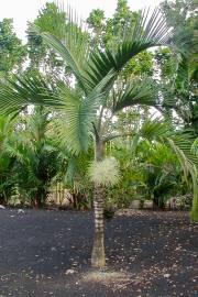 Hyophorbe indica 'Southern' – Palmiste poison