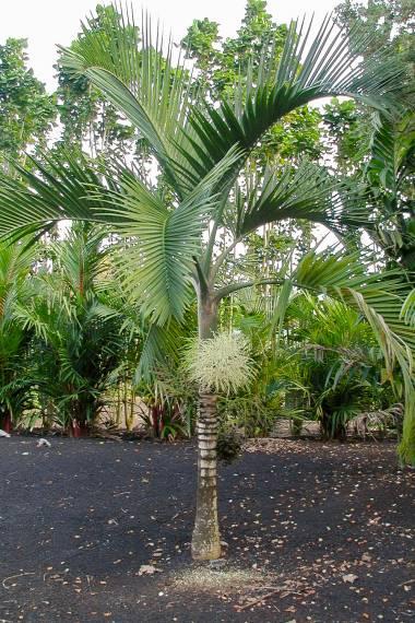 Hyophorbe indica 'Southern' – Red Mascarene Palm