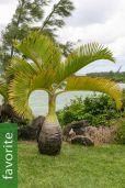 Hyophorbe lagenicaulis – Bottle Palm