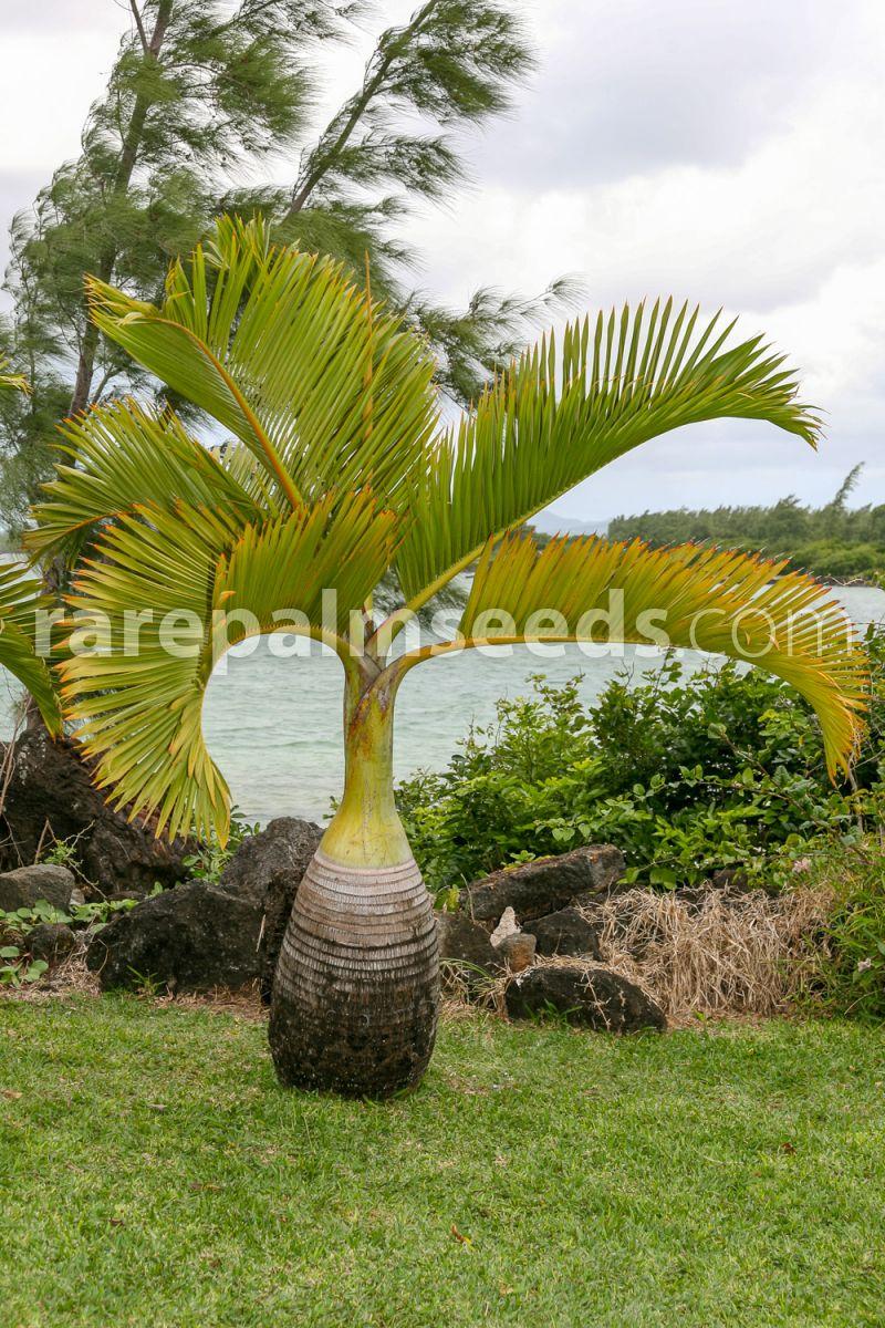 Spindle Palm seeds. 10 x Hyophorbe Verschaffeltii seeds
