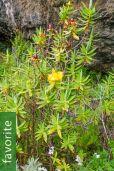 Hypericum revolutum subsp. keniense