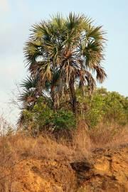Hyphaene coriacea – Ilala-Palme