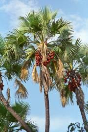 Hyphaene thebaica – Palmier doum