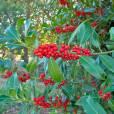 Ilex aquifolium – Acebo