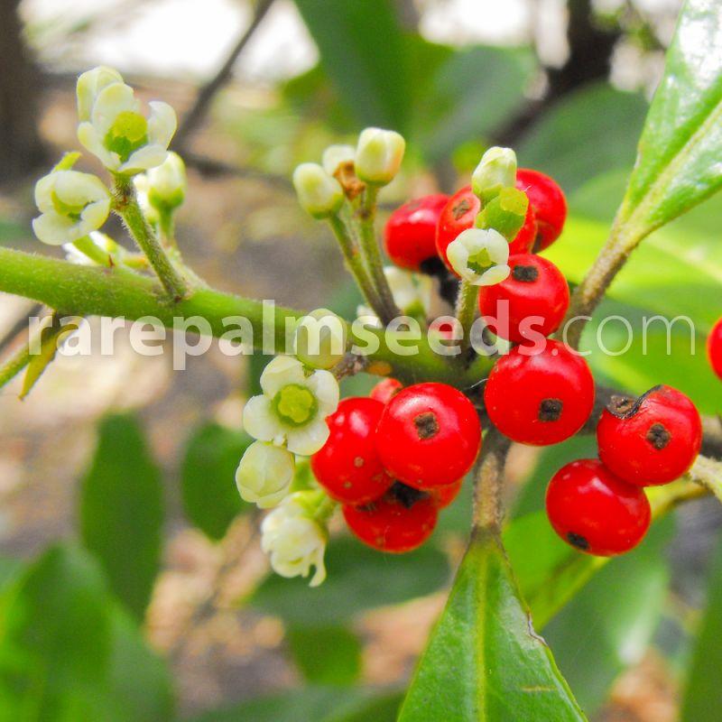 100 Semi di ilex paraguariensis Miers yerba mate,Ilex curitibensis Asklepios-seeds/® Ilex domestica Mate