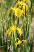 Iris pseudacorus – Sumpf-Schwertlilie, Gelbe Schwertlilie