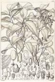 Irvingia malayana – Wild Almond
