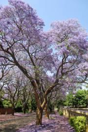 Jacaranda mimosifolia – Blue Jacaranda