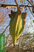 Jacaratia mexicana 'Maroon' – Mexican Mountain Papaya