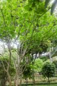 Jatropha curcas – Physic Nut