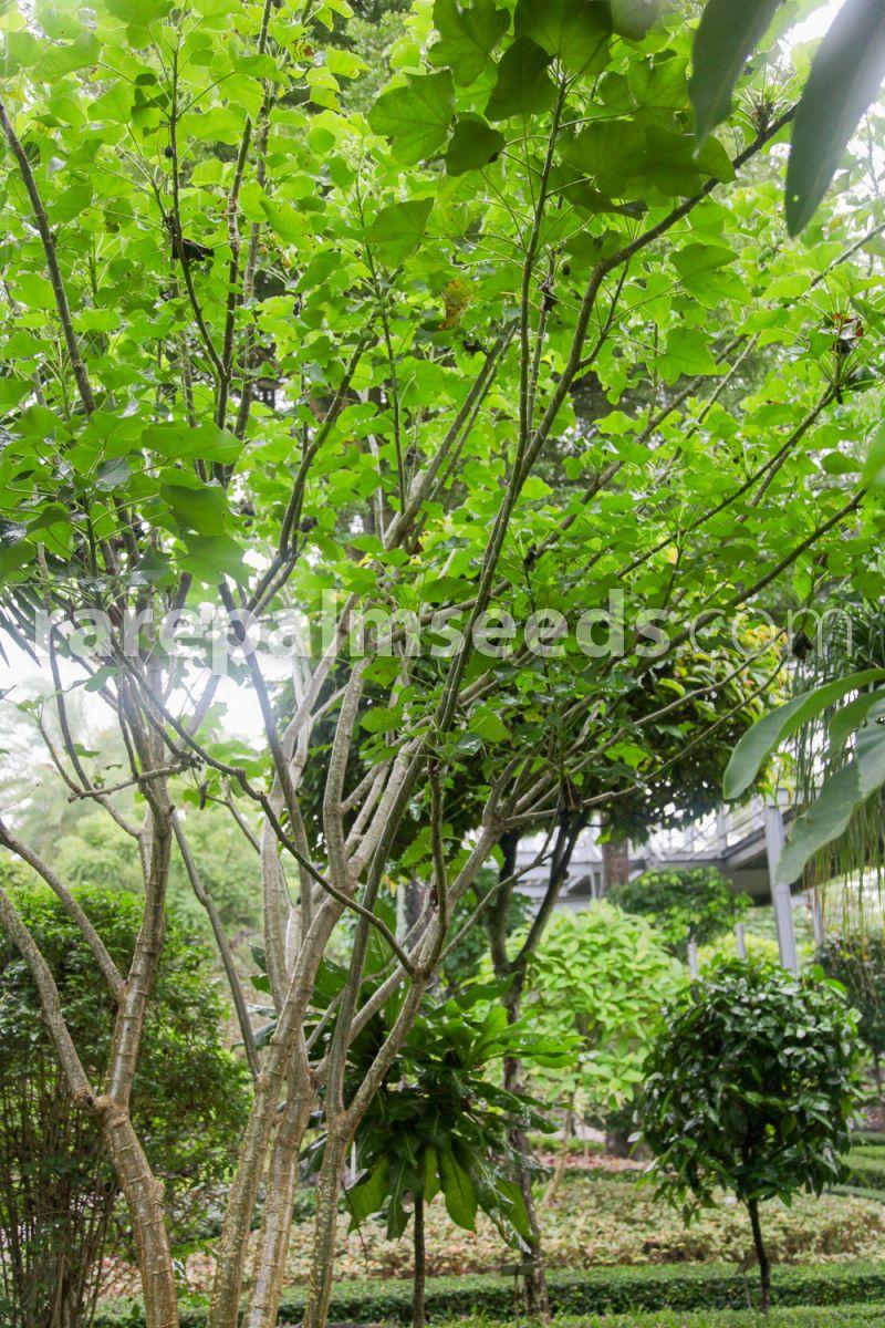 Jatropha curcas rare succulent plant biodiesel oil bonsai cactus seed 20 seeds