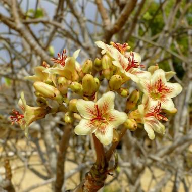 Jatropha mahafalensis – Madagascar Jatropha