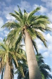 Jubaea chilensis – Chilean Wine Palm
