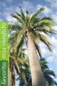 Jubaea chilensis – Palma de vino