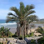 Jubaeopsis caffra – Pondoland Palm