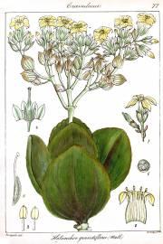 Kalanchoe grandiflora – Verruga