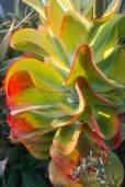 Kalanchoe luciae – Paddle Plant