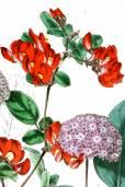 Kennedia eximia – Rote Korallenerbse