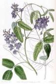 Kennedia macrophylla