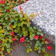 Kennedia prostrata – Scharlachrote Korallenerbse