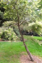 Keteleeria evelyniana – Yunnan Youshan