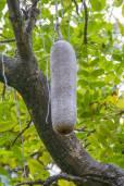 Kigelia africana – Sausage Tree