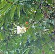 Lafoensia acuminata – Guayacán de Manizales